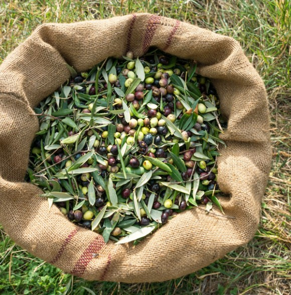 How olives are grown